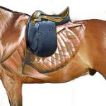 Saddle Fitter 2